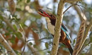White-throated Kingfisher with prey