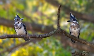 Mr. & Mrs. Crested Kingfisher