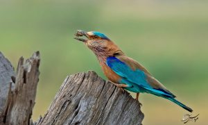 Indian Roller with prey