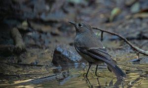 Blue-capped Redstart - female