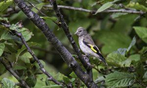 Eastern Goldfinch