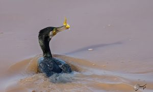 Great Cormorant with Goldfish