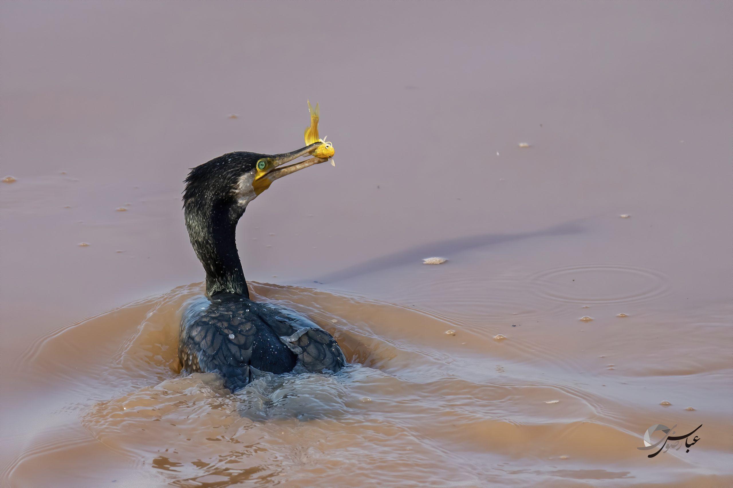 Great Cormorant catch the Goldfish